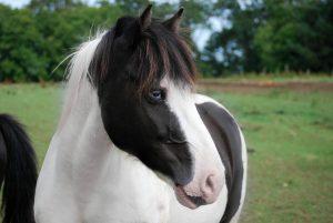 poney-paulin